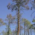 Apparue en Corse en 1994, la cochenille du pin maritime menace notre patrimoine et nos paysages.  Les pins maritimes de Haute-Corse sont assiégés par une cochenille. L'insecte ravageur provoque […]