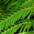 En France, le Woodwardia radicant, une grande fougère qui peut atteindre 1,50 m à 2 mètres, est présente dans un seul site: à Siscu où elle a été découverte en […]