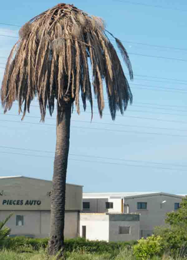 La disparition du palmier en corse est programm e - Quand tailler un palmier ...