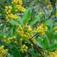 Houx rouge et houx doré U caracutu pè l'annu novu? Le houx commun (Ilex aquifolium) arbore un feuillage vert épineux luisant et les pieds femelles s'ornent de baies rouge vif […]