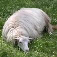 U Levante vous invite à aider l'Organisme de Sélection de la brebis corse (OS),une race reconnue comme une brebis laitière.En 20 ans, la Corse a perdu 20 000 brebis et […]