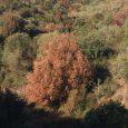 """4 octobre :quelques images dela végétation de la côte occidentale de la Corse. Lentisques, arbousiers, chênes verts, oléastres, etc. """"brûlés"""", desséchés, traduisentles effets d'un été très chaud et très sec. […]"""