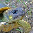 Le mouflon de Corse, le gypaète, la tortue de Hermann, etc. Par une courte et pédagogique vidéo, A Piazzetta alerte sur ces animaux menacés de disparition en Corse. Et les […]