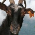 Les chèvres corses ont gardé une diversité génétique comparable à celle du moyen âge sur l'île. C'est ce que révèle l'étude paléogénétique menée par plusieurs laboratoires. CC – Photo Solea20 […]