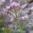Deux espèces de flore menacées en Corse doivent faire l'objet de plans nationaux de sauvegarde: le Centranthe à trois nervures et la Lunetière de Rotgès. Ces plans sont soumis à […]