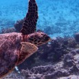 Quand une femelle de tortue marine s'imagine que le long des côtes de Corse elle pourra trouver un coin tranquille pour pondre… en été… malheureusement ce n'est plus possible, même […]