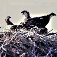 Nous avons à plusieurs reprises tiré la sonnette d'alarme concernant la conservation de l'espèce et sa survie. Une pétition circule : signons-la. https://www.mesopinions.com/petition/nature-environnement/sauvons-scandola/58754?fbclid=IwAR2GWxosT-IeiSMRgyVW8wg52zzZewgHazd6kUxdTqYH9zqoYZwTLsjnCU8  À voir ou revoir: http://www.ulevante.fr/pour-les-aigles-pecheurs-scandula-est-un-enfer/