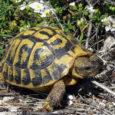Pour avoir tué et mutilé des dizaines, voirebien davantage,de tortues d'Hermann en gyrobroyant 25hectares de maquis auxlieux-dits Confina 2 et Monte Sant'Anghjuluà Aiacciu(la colline qui domine la centrale du Vazziu […]